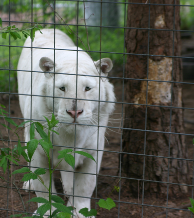 Arthur the White Tiger