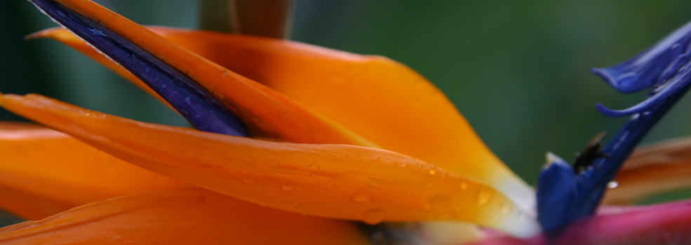Image of Bird of Paradise Flower